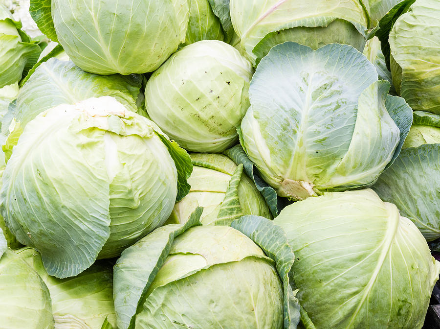 Cabbage Production Business Plan