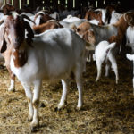 Starting Goat Farming Business Plan (PDF)