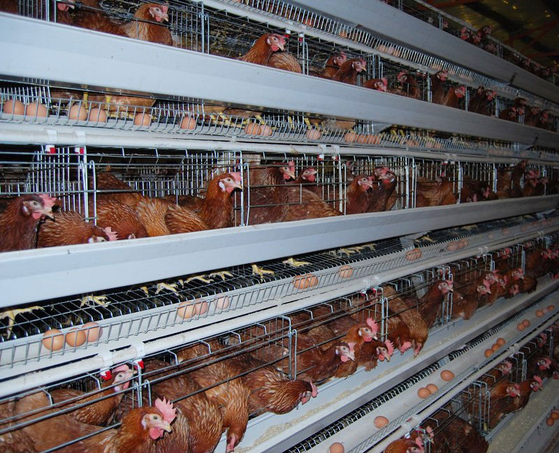 Starting Poultry Egg Farming Business Plan (PDF)