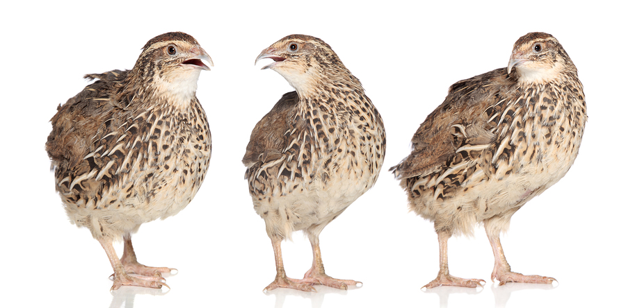 Starting Quail Farming Business Plan (PDF)