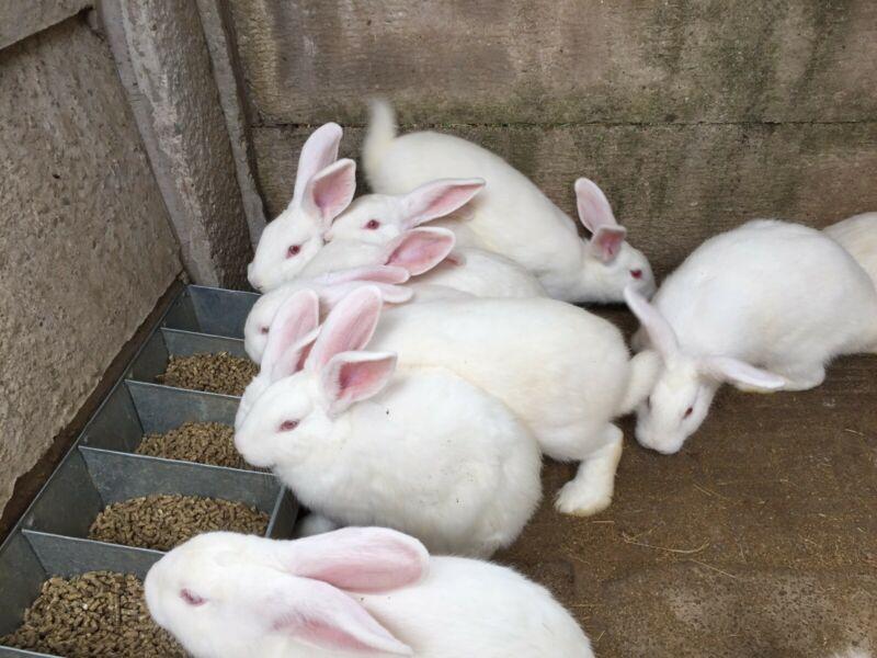 Starting Rabbit Farming Business Plan (PDF): Raising Rabbits For
