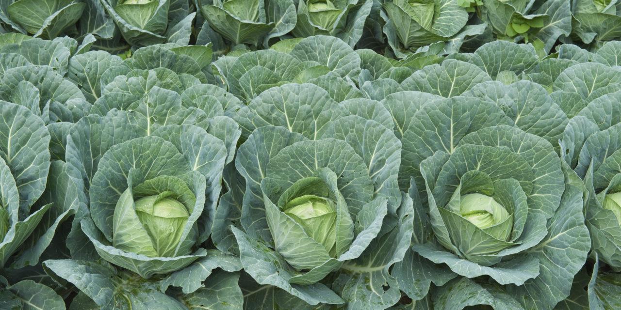 Starting Cabbage Farming Business Plan (PDF)