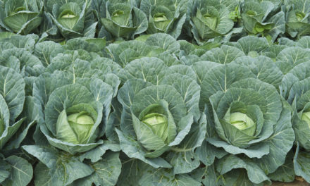 Starting Cabbage Farming Business Plan (PDF)