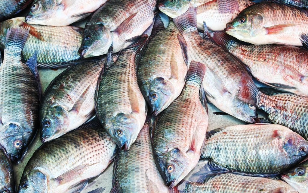 Starting tilapia fish farming business plan pdf for Is tilapia fish good for you