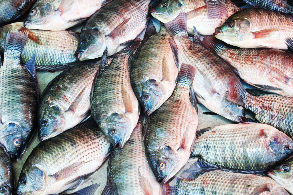 tilapia farming business plan Here is all you need to know about the business plan, types and challenges of  the  there is a great demand for fishery products like catfish, tilapia, mackerel .